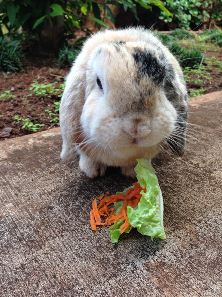 Flopsie eating grated carrots on a lettuce leaf
