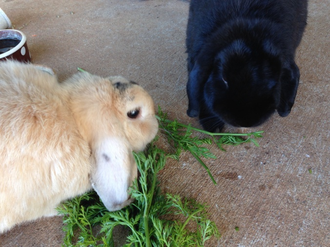 By the next morning, Flopsie & Mopsie will have eaten the carrot tops down to the stalks.