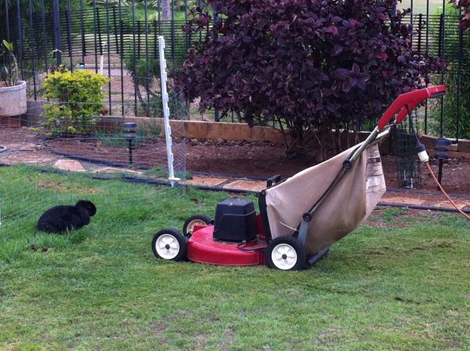 Mopsie facing down the lawnmower