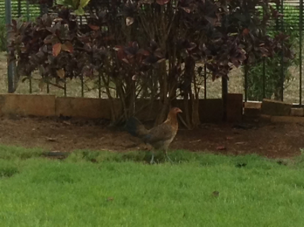 Chicken in the backyard