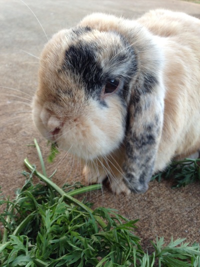 Flopsie eating carrot tops