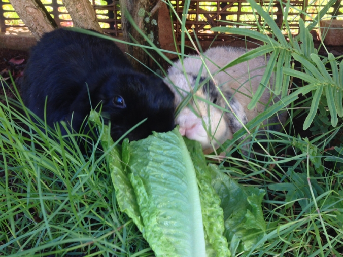 Rabbits_Eating_Romaine