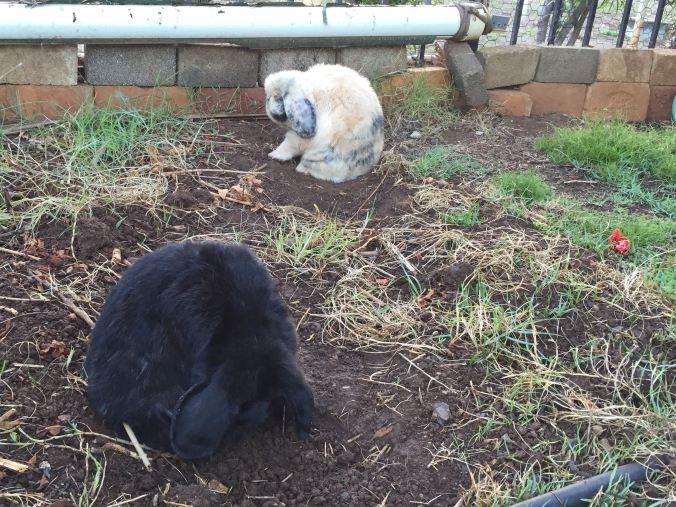 Rabbits_grooming
