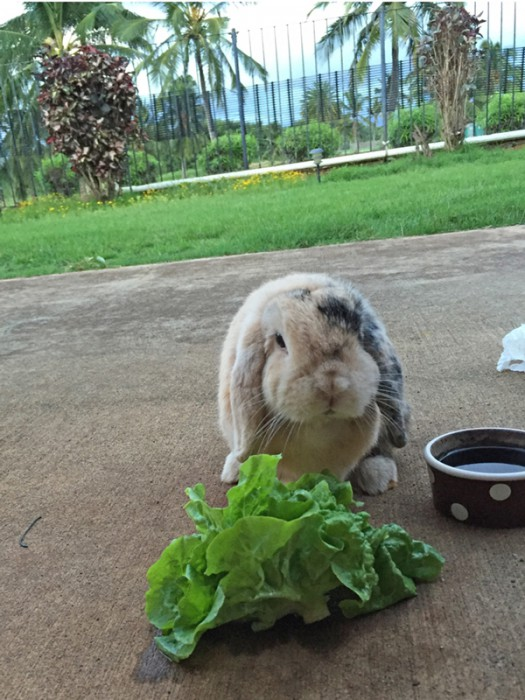 Flopsie_lettuce