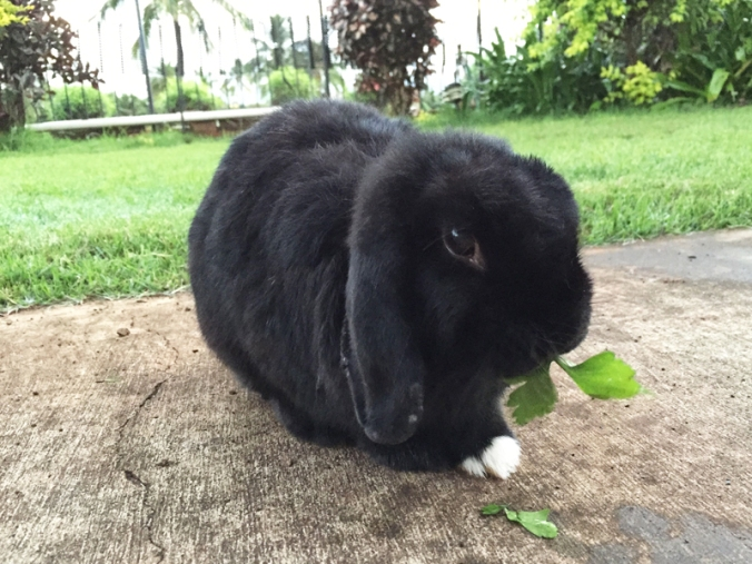 Mopsie_eating_parsley